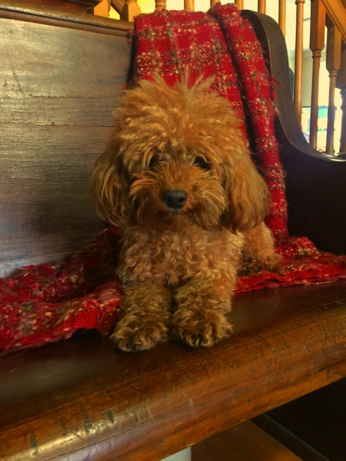 Scotty! Scotty is a toy poodle 🙂