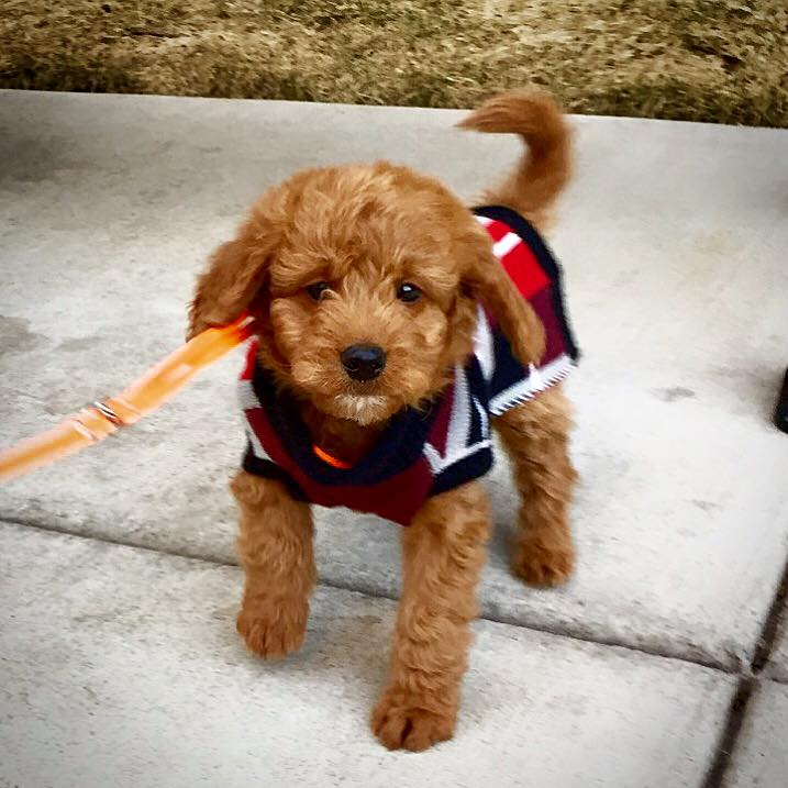 Goldendoodle Dogs for Adoption near Indianapolis, Indiana ...