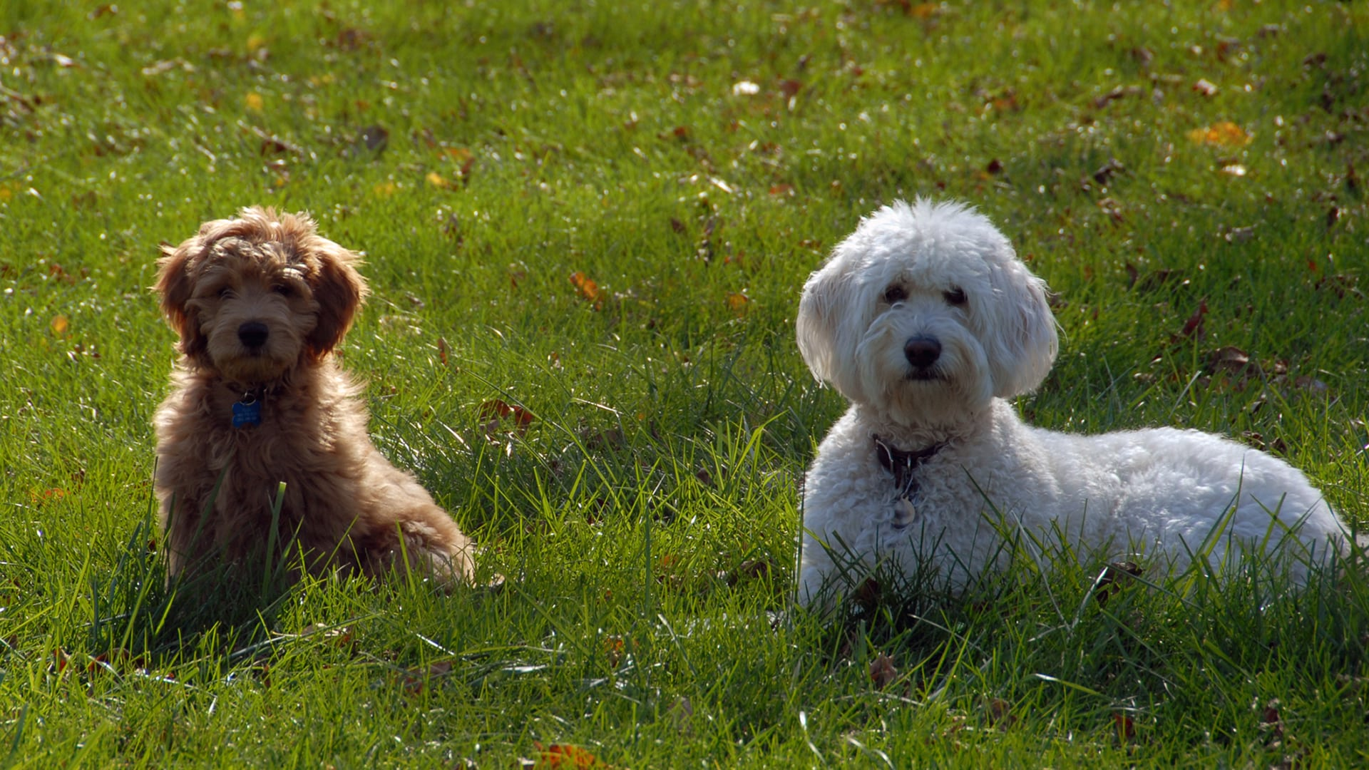 Mini Goldendoodle Adults Size