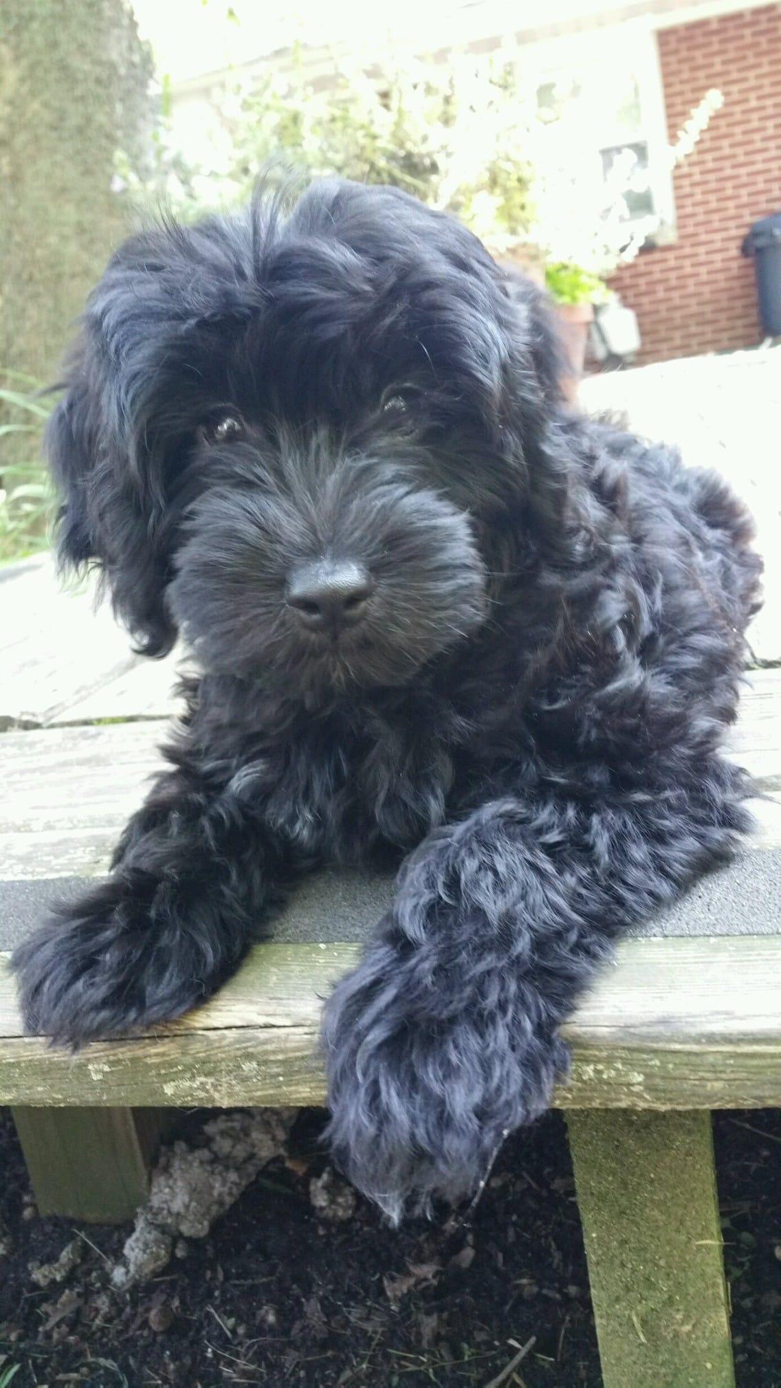 Black Mini Doodle Puppies Archives Doodle Country Mini