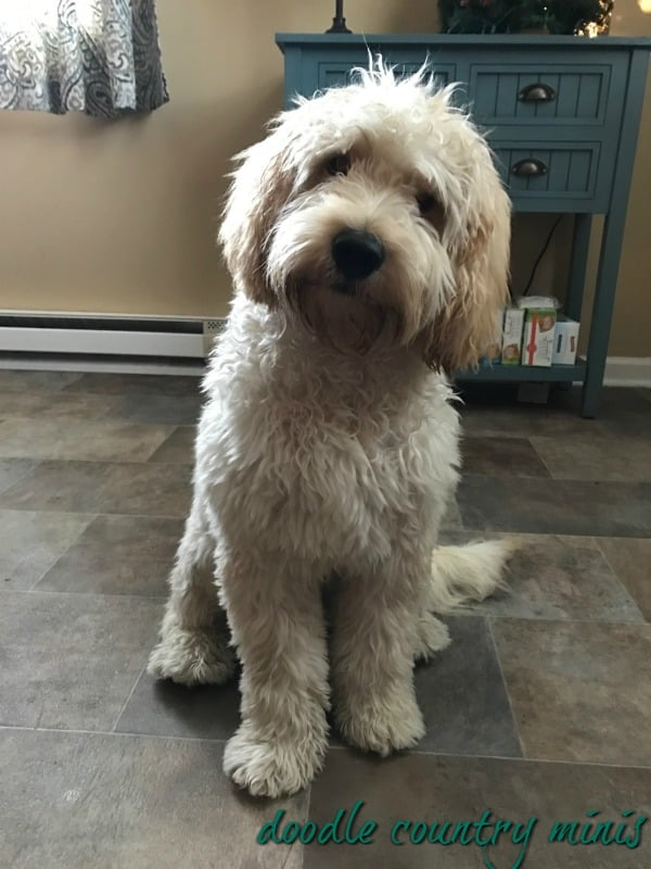 Doodle Country Mini Goldendoodle Puppies Family Raised