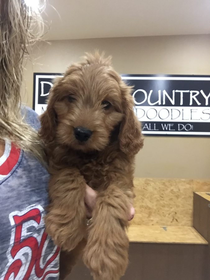 Doodle Country Mini Goldendoodle Puppies ~ Family Raised Mini