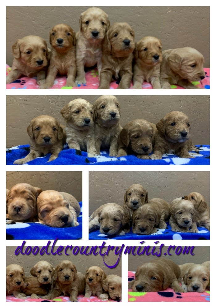 Puppy  Breath Abounds at Doodle  Country  !!
