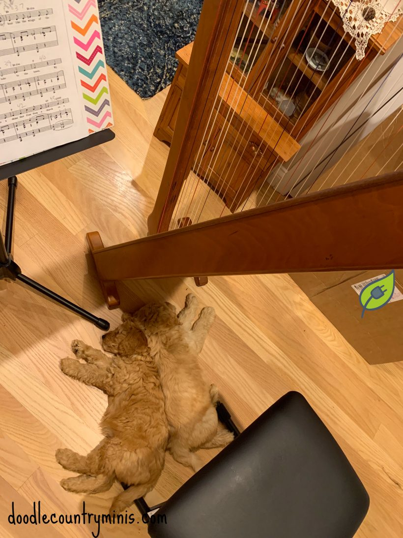 How to go to sleep… when your new human plays the harp !!!