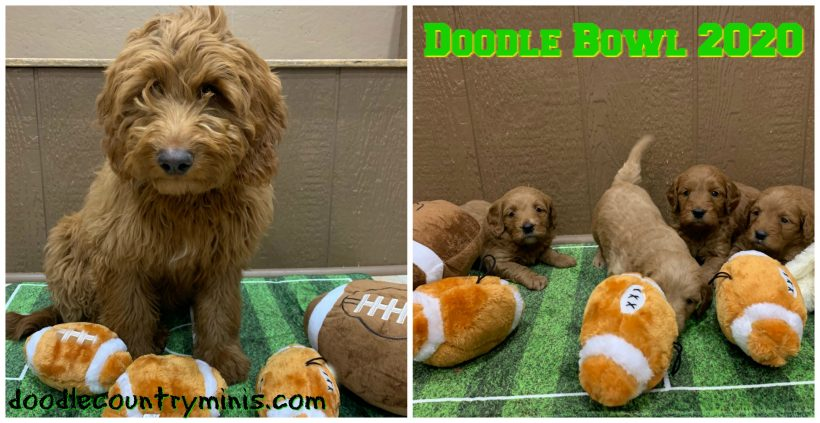 We're having Doodle Bowl at Doodle Country Minis !